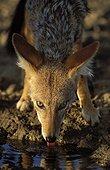 Black-backed jackal drinking Kalahari NP - Northern Cape RSA ; Kgalagadi Transfrontier Park