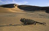 Namaqua Chamaeleon Namib Desert Namibia