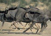 Blue wildebeest running Kgalagadi Kalahari RSA