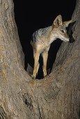 Blackbacked Jackal Climbing tree at night Kgalagadi RSA