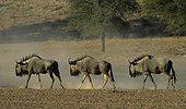 Blue wildebeest Kgalagadi Kalahari Gemsbok RSA