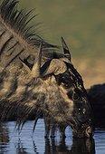 Blue wildebeest drinking Kgalagadi Kalahari Gemsbok RSA