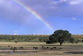 Blue wildebeest with rainbow Kgalagadi Kalahari Gemsbok RSA