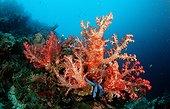 Coral reef Bohol Sea Philippines ; Panglao Island<br>