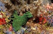 Nudibranch Bohol Sea Philippines