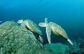 Green sea turtle at cleaning station Sipadan Malaisia