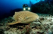 Zebra shark Phuket Similan Islands Thailand