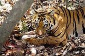 Jeune Tigre du Bengal mangeant un Samba Khana Inde ; Tigre âgé de 16 mois. C'est la veille qu'un sambar a été tué . La mère et ses trois petits se sont chargés de nettoyer la carcasse.