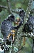 Semnopithèques femelles et jeunes dans un arbre Malaisie