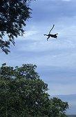 Semnopithèque à coiffe sautant d'un arbre à l'autre Malaisie