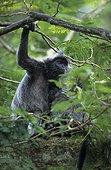 Semnopithèque femelle et jeune dans un arbre Malaisie