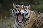 Bengal tiger open jaws Ranthambore NP India