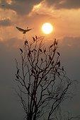 Oiseaux sur un arbre au coucher de soleil PN Kakadu