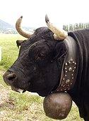 Portrait d'une vache alpine Hérens avec une cloche au cou ; Région de Sion dans le Valais Suisse