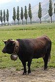 Vache alpine Hérens avec une cloche au cou Suisse ; Région de Sion dans le Valais. Utilisée pour des combats traditionnels.