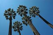 Palmiers en contre-plongée
