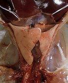 Appareil respiratoire d'un Mammifère : le Lapin domestique ; Disséction montrant : Poumons, Pharynx, Coeur, Diaphragme