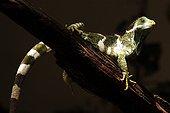 Iguane des Fidji mâle Fidji ; @ Espèce de Fidji