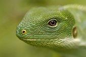 Portrait d'Iguane des Fidji Fidji