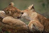 Lion cubs Masaï-Mara Kenya[AT]