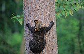 Young black Bear climbing on a tree Ontario Canada[AT]