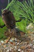 Dytique attaquant une larve Loiret