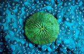 Mushroom Coral Komodo Indonesia