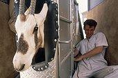 Echographie d'un Oryx Arabie Saoudite ; Reportage Centre scientifique de Taïf Arabie Saoudite