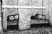 """Pig snouts seen through a hole they gnawed ; Neufchâtel en Braye<br>Pays de Braye<br>Won an award """"Make us laugh"""", photo reply"""