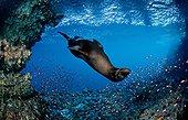 Galapagos Fur Seal Galapagos