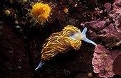 Opalescent Nudibranch Australia