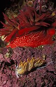 Opalescent Nudibranch British Columbia Canada