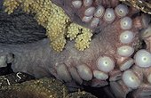 Pacific Giant Octopus garding its eggs British Columbia