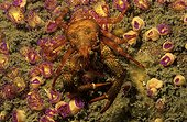 Galathée commune et Anémone de mer bijou verte Bretagne