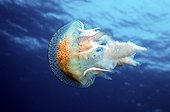 Mauve stinger jellyfish Meditarranean