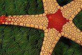 Peppermint sea star Indonesia