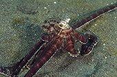 Mimic Octopus Indonesia