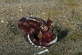 Mimic Octopus emerging from its burrow Indonesia