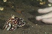 Mimic Octopus crawling out its hole to investigate diver