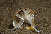 Veined octopus using snail shell for protection
