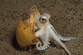 Juvenile Veined octopus using snail shell for protection