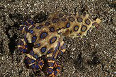 Greater Blue Ringed Octopus Indonesia