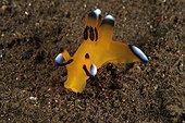Nudibranch Indonesia