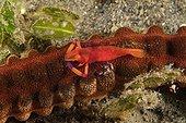 Imperial shrimp on Synaptid sea cucumber Indonesia