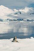 Léopard de mer sur la banquise Antarctique ; Janvier 2002