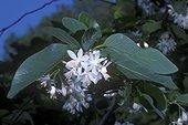 """Fleurs de l'arbre Styrax qui produit la résine de benjoin ; Des incisions sur le tronc s'écoulent des gouttes blanches de styrax liquide qui s'épaissit au contact de l'air. Ce baume est riche en acide benzoïque.<br>Le """"Baume styrax"""" ou """"Benjoin"""" a des propriétés antiseptiques, cicatrisantes, expectorantes. <br>Il est utilisé en parfumerie surtout comme fixateur, son odeur apporte une note sucrée, légèrement vanillée et balsamique. Il entre aussi dans la fabrication du """"Papier d'Arménie"""""""