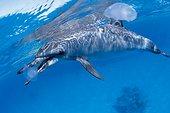Dauphin à long nez et méduses Mer rouge Egypte ; PN Raz Samadaï