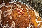 Imperial shrimp on Sea cucumber Bunaken Sulawesi Indonesia