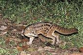 Malagasy Civet Ranomafana NP Madagascar