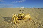 Crabe Fantôme se déplaçant sur le sable Australie